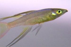長いヒレと虹色に変化する色彩が特徴です。
