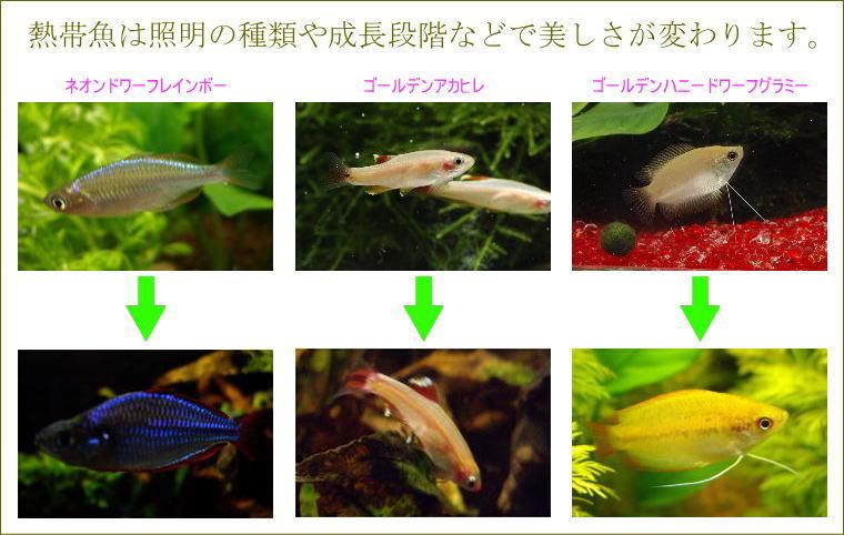 熱帯魚は照明の種類や成長段階などで美しさが変わります。
